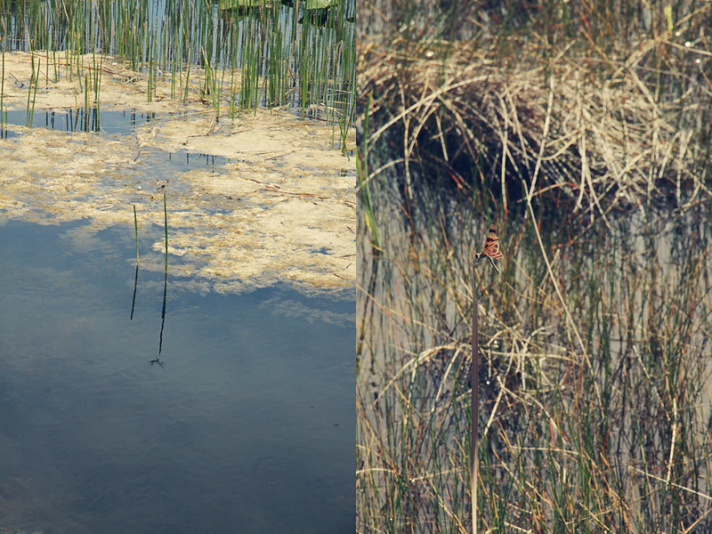 Chapel Trail dragonfly diptych