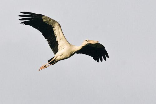 Asian Openbill