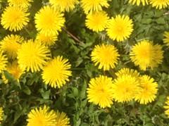 Dandelions #Dandelions