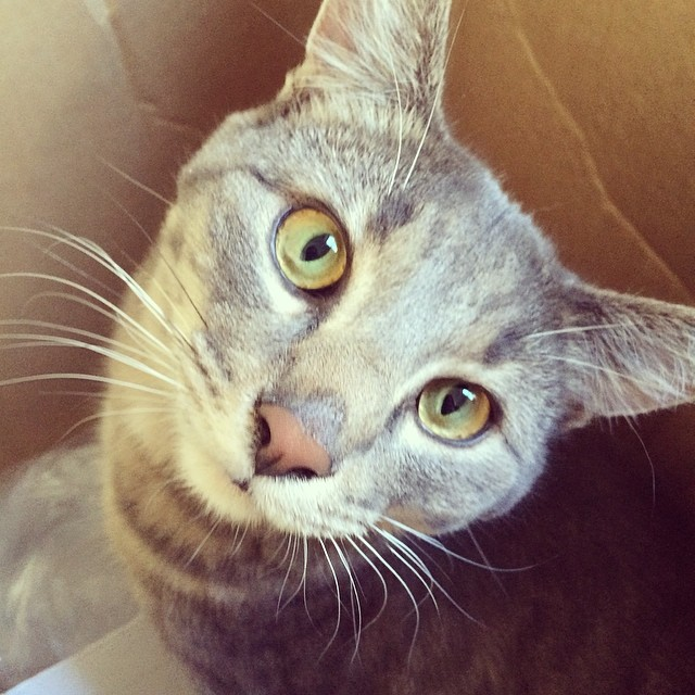 Cat in a box. Marlow loves the mailman. #mncat #catinabox #catsofinstagram