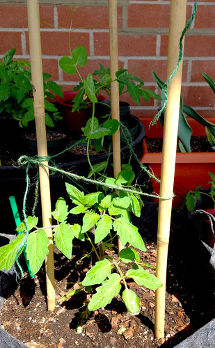 Tomato and sugar snap pea plants