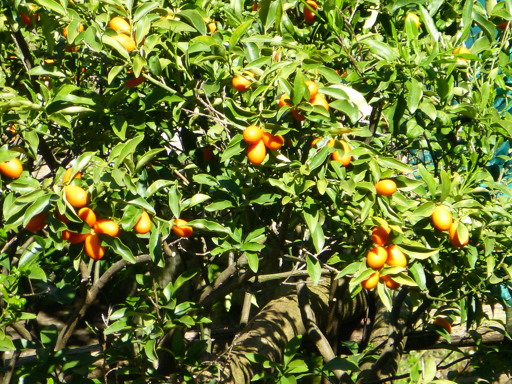 Apricots or Persimmons?