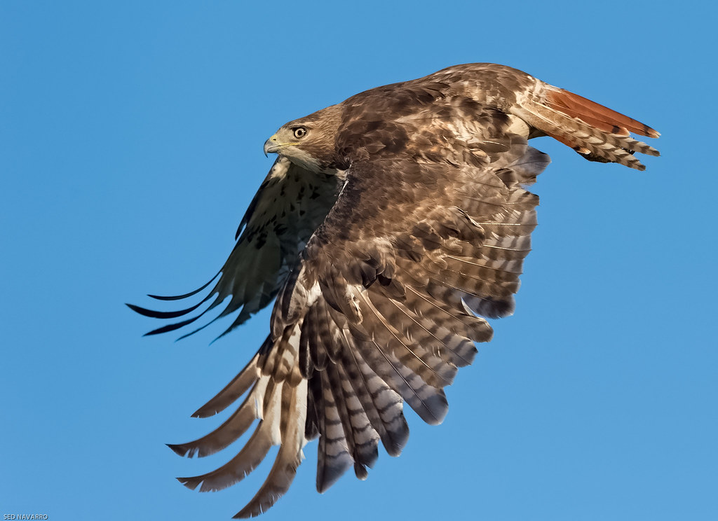 Red-tailed Hawk, immature