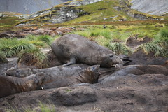 Southern Elephant Seal drools over other seals