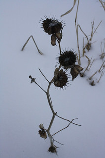 Indianmallowgonetoseed