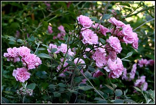 Ballerina shrub rose.