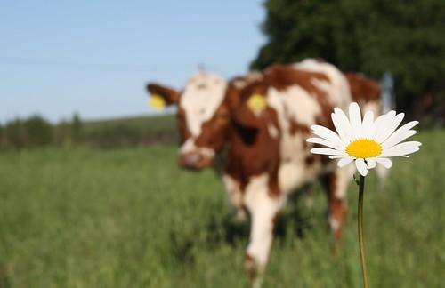 flower cow lehmä kukka