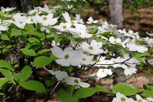 Spray of dogwood flowers on a tree in Piney Creek Wilderness in Barry County, Missouri.