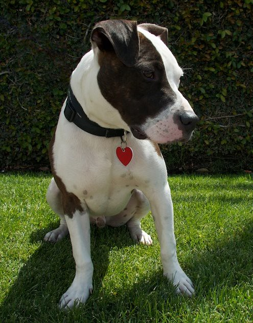 adopted mickey pit bull terrieramerican