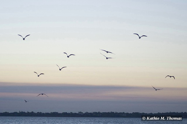 Birds flying in to roost