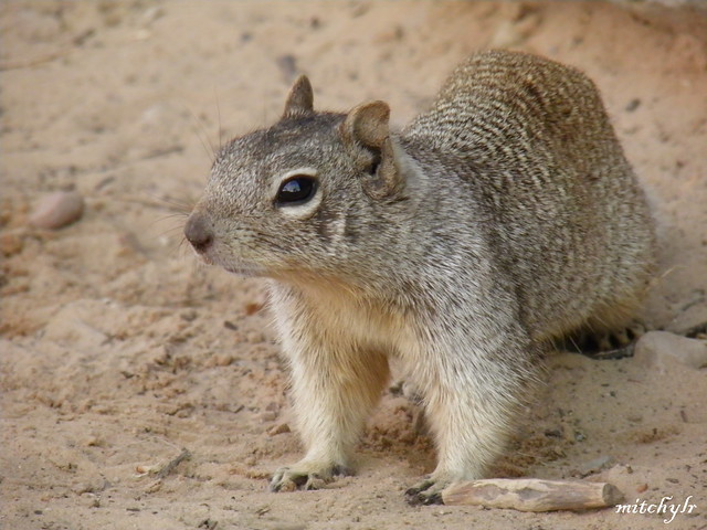 Ground Squirrel 3