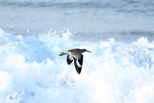 Willet in flight, Malibu CA