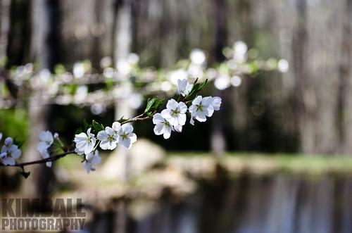 Pear Flower 6