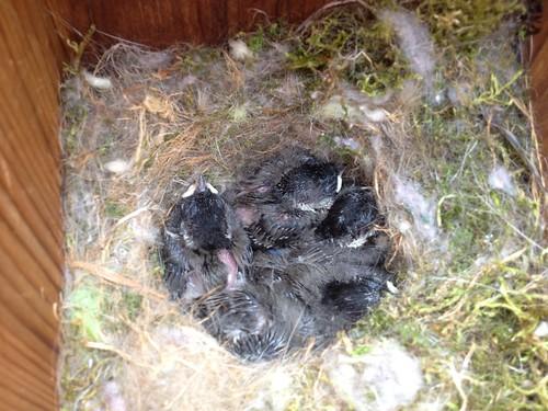 Chickadees Day 12