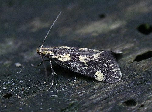 Denisia similella Tophill Low NR, East Yorkshire May 2014
