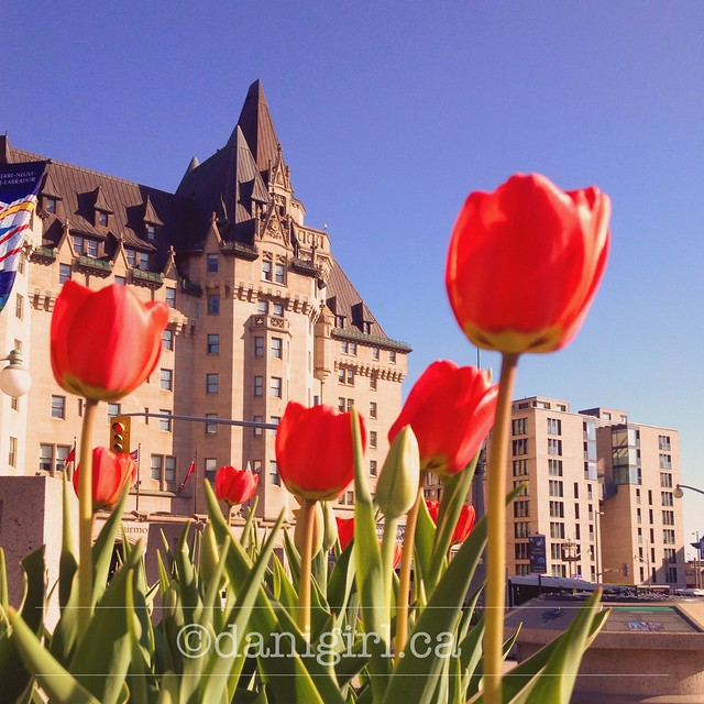 Tulips in front of the Chateau Laurier