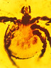 Rickettsia Cretaceous tick (4)