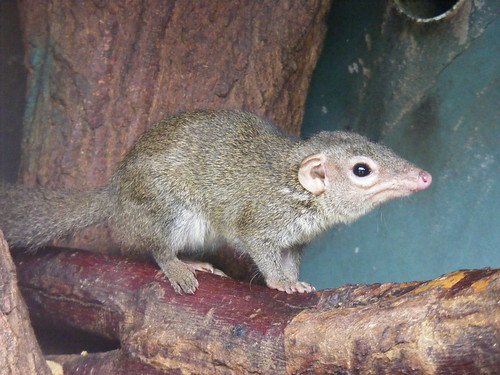 Belanger's tree shrew