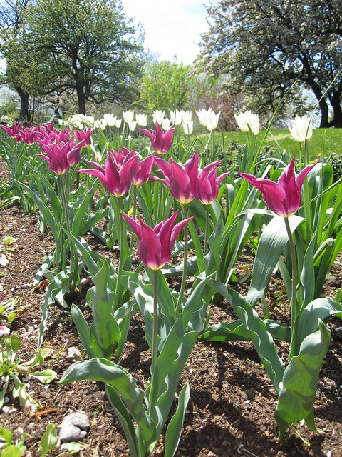 Bulbs bloom in Annual Border. Photo by Sarah Schmidt.