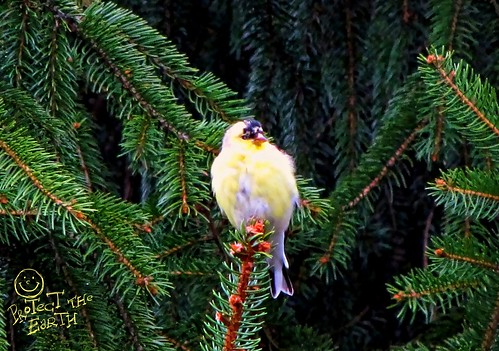 One of the angry birds - American Goldfinch by Izabella U
