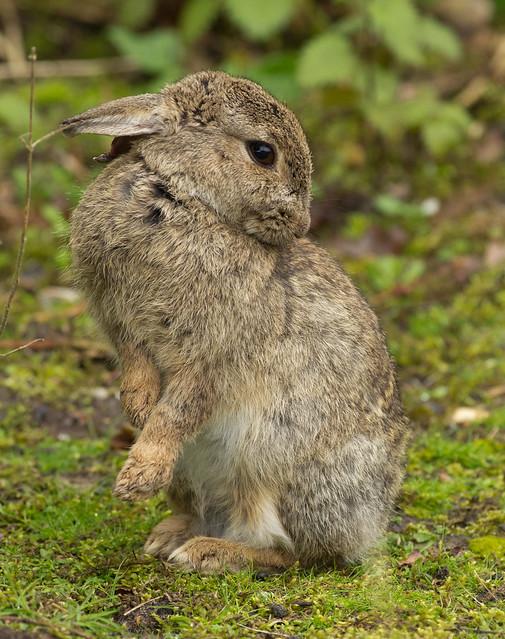 rabbit grooming