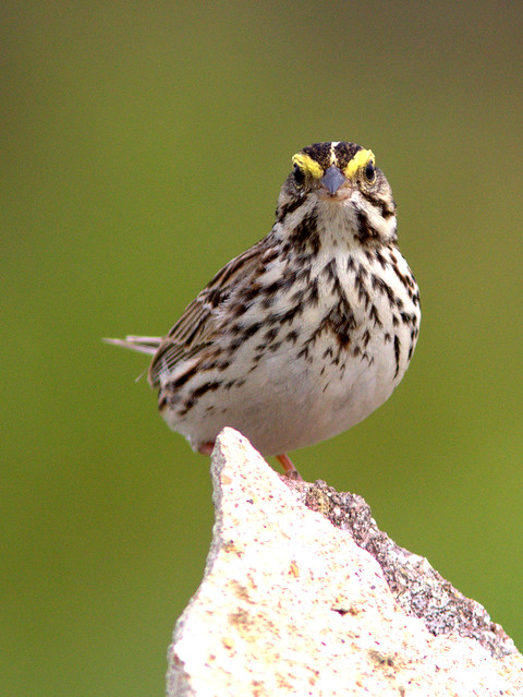 Savannah Sparrow 20120506