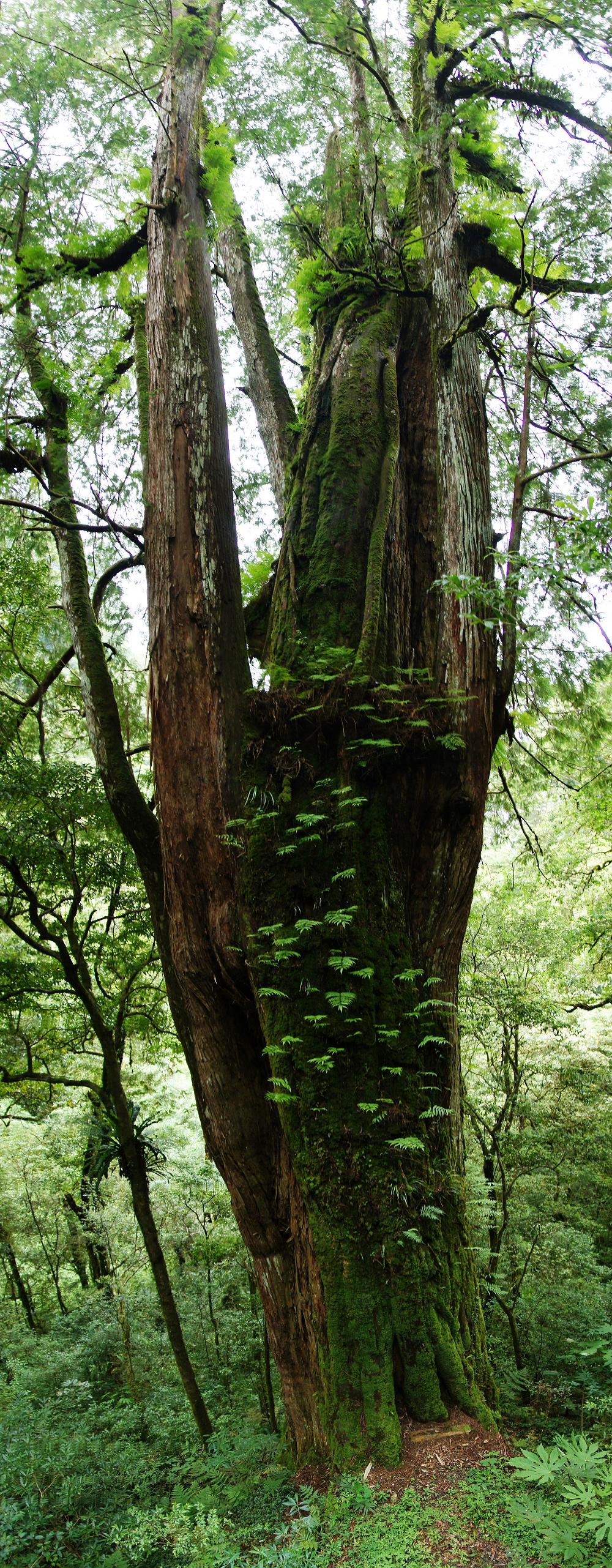 巨木群,與往拉拉山的路上-081