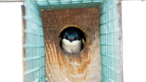 Tree Swallow in Bluebird House