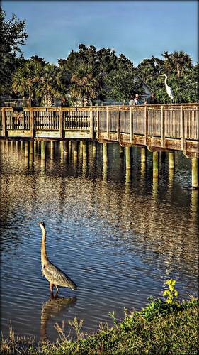 bridge people lake wildlife scenic hdr greatblueheron greategret chriscrowley reedcanalpark celticsong22 southdaytonaflorida tellmeifimseeingthings apossiblealligatororihavegatorsonthebrain