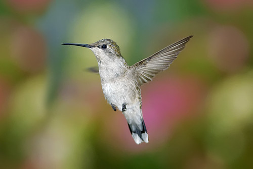 Hummingbird In Flight_RGB3360T