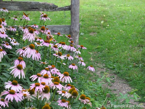 (15) The echinacea is in full bloom - FarmgirlFare.com