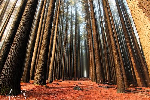 Sugar Pine Walk - Laurel Hill