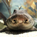 Horn Shark (head-on view)