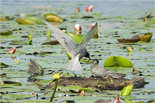 red black birds niger feeding pentax stern tern wetland nesting bif zwarte k3 foraging hoovering chlidonias moeras mashland sigma150500
