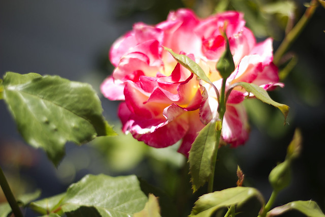 Roses in front yard