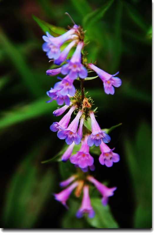 Penstemon 1