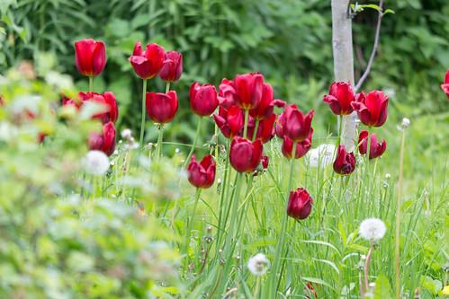 garden tulips latvia springflowers zina lielvārde ausekļaiela