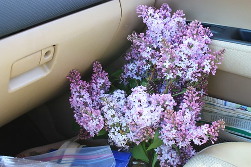 Lilacs on the move