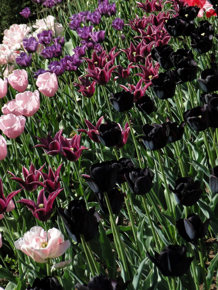 77-21apr12_3994_Botanical_garden_tulip