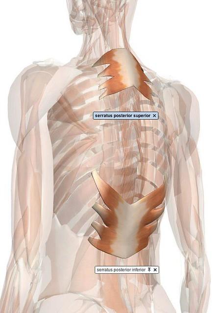 blog serratus posterior inferior pretty superior muscle
