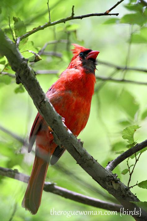 060512_04_birding04_cardnial