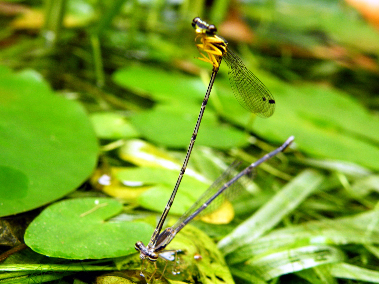 許多豆娘在交尾完後仍不分開,雄蟲仍舊緊繫著伴侶,於是能讓人見到雙雙連結在一起飛行的景象。圖為一對脛蹼琵蟌停在池塘邊,準備進行產卵。