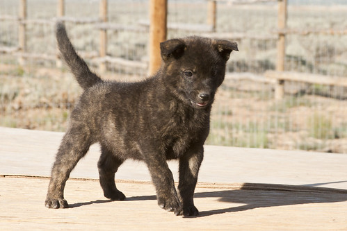 Haru-Third-Litter-Pup3-Female-Day49b