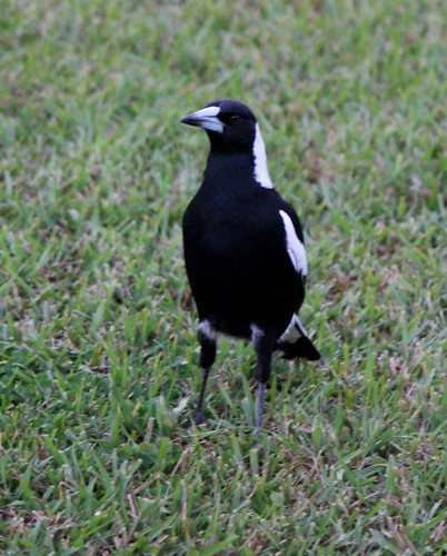 IMG 8595 Magpie