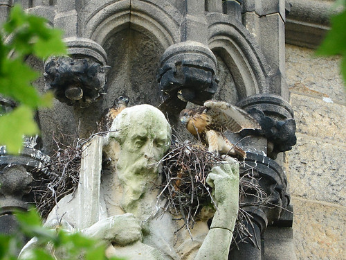 Cathedral Hawk Nestlings (1566)