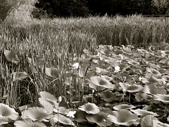 Water Lilies & Cattails