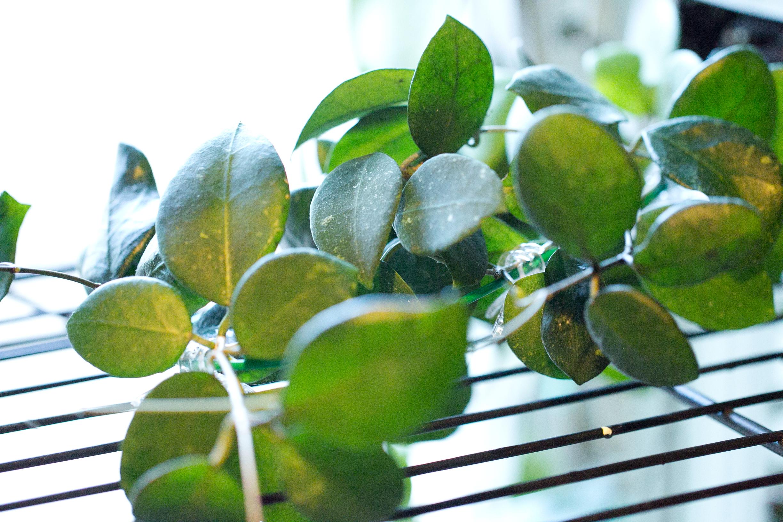 Hoya balansae