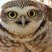 Coruja/ Owl by Marcelo N. Passos