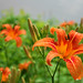 daylily - Photo (c) John Beatty, all rights reserved