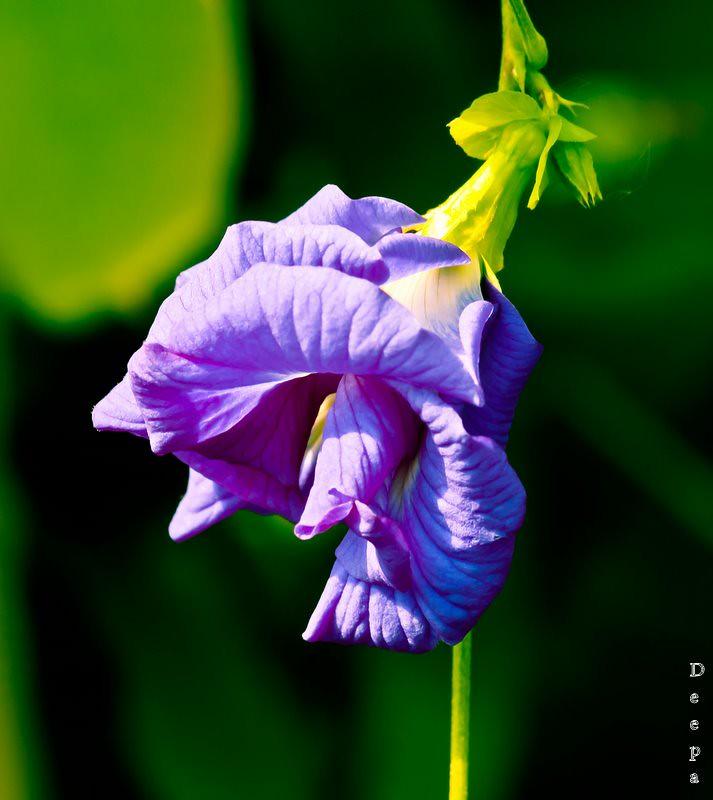 shankupushpam/butterfly pea/ Clitoria terneata/Kulhadhirimaa (Divehi) Butterfly pea, blue pea vine, mussel-shell climber, pigeon wings (English) Aparajita (Hindi) Nagar hedi (Kannada) Sankhupushpam (M